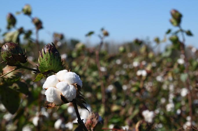Diesel wird Mitglied der Better Cotton Initiative