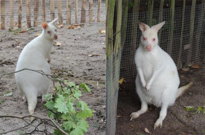 Kangaroos übernimmt Patenschaft für Kängurus