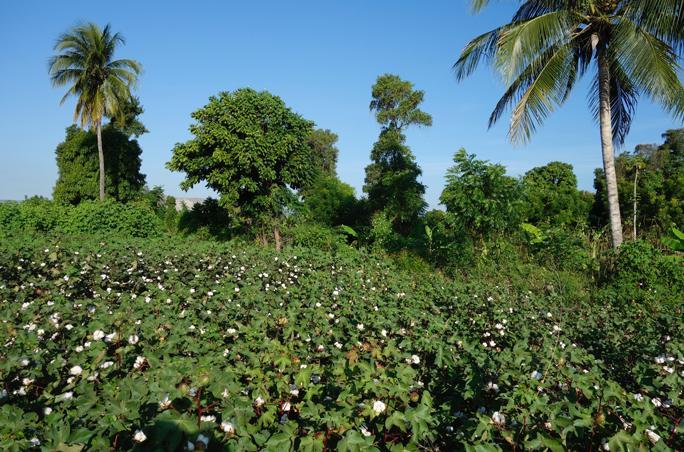 Community Cotton Faser
